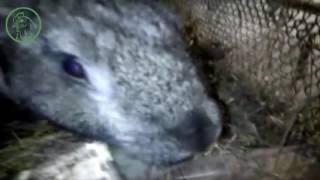 Крольчиха породы фландр,  первый опыт разведение кроликов | Жизнь в селе(Приобрел крольчиху породы фландр, это мой первый опыт разведение кроликов, жду от нее потомства, маленьких..., 2016-11-02T14:44:01.000Z)