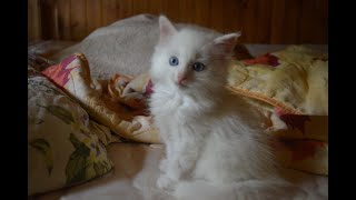 Turkish Angora kitten is very impressed by the world behind the window
