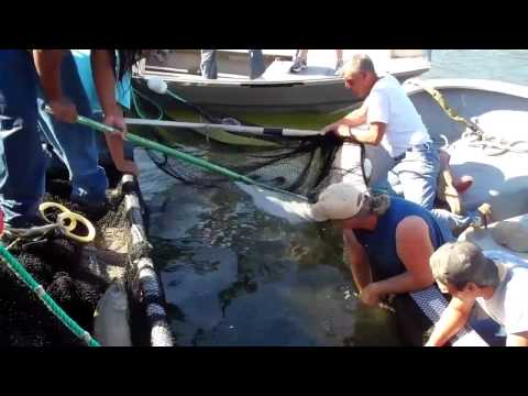 Columbia River Tribal Salmon Harvest