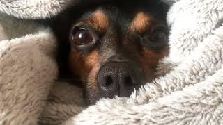 Собака спит целый день НОС СОБАКИ макросъемка