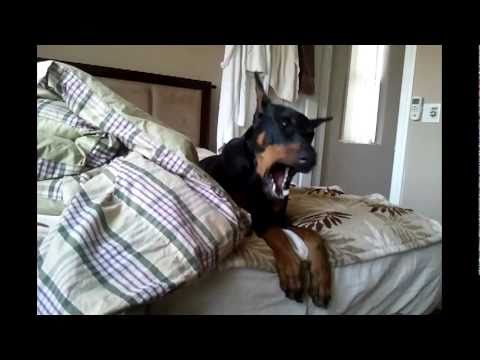 Cute Doberman Talking