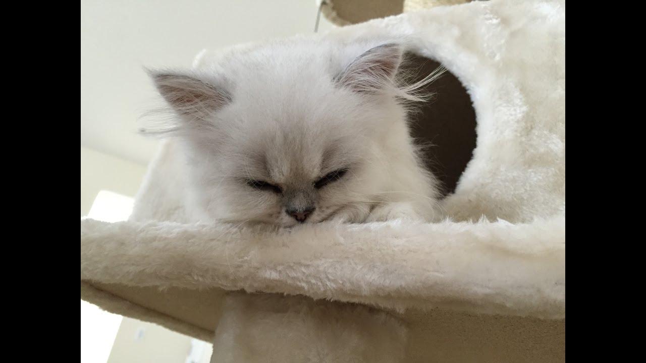 CUTE DOLL FACE PERSIAN CAT