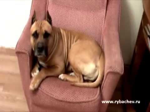 Собака БЫЧИТ