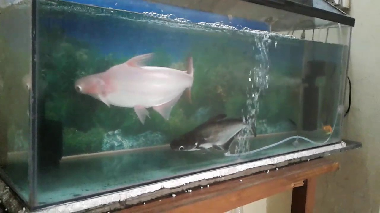 Fish tank shark fish black white youtube for Shark fish tank