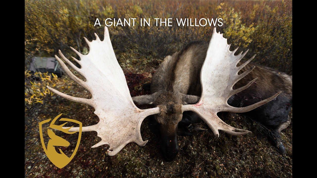 """Download WORLD-CLASS YUKON MOOSE In The Willows  Game Of Inches 