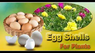 Eggshells fertilizer for Rose Moss for more flowers.