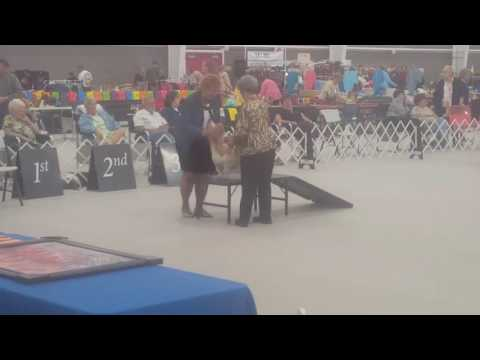 Grace @ Ft. Dearborn Basset Hound Club Specialty 2016