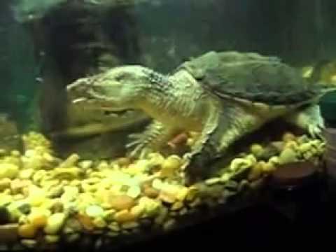 Nuôi rùa cá sấu