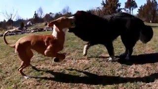 Lotte the Tibetan Mastiff and Käbi the Ibizan Hound playing