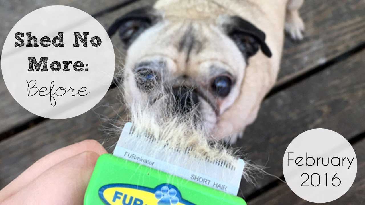 Pug Makes It Rain Fur Pl360 Shed No More Before Video Youtube