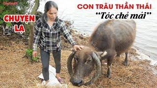 """Chuyện lạ Việt Nam: Con Trâu """"tóc chẻ mái"""" như dân chơi 8X"""