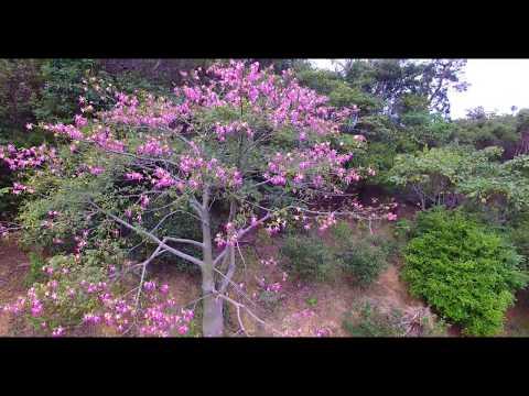 [4K]アゲハチョウの楽園  Drone Footage   okinawa islands Japan 沖縄 ドローン