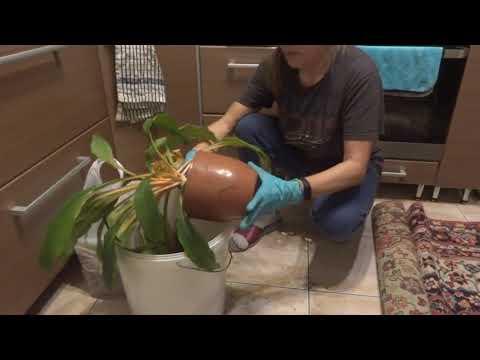 Комнатные цветы/растения. Пересаживаю хлорофитум Грин Оранж.