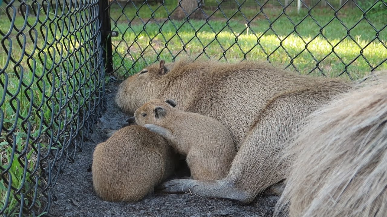 Surprise Cute Babies At Amazing Animals Sanctuary & Dinner At Boma In Disney's Animal Kingd