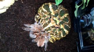 Horned frog eats tarantula