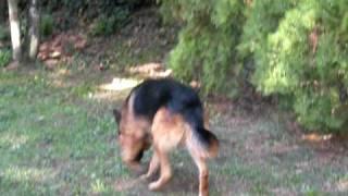 Zeus  Allevamento Cane da Pastore tedesco  Tana dei Lupi   http://www.tanadeilupi.it/home.html