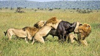 Um búfalo contra nove leões! Inacreditável o que aconteceu!