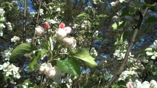 APPLE BLOSSOM ON OUR APPLE TREE IN THE YARD IN SPRINGTIME