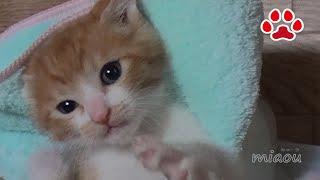 8日目。子猫まやを救出に向かう猫達 【瀬戸のまや日記】 Day8 Cats were headed to rescue the kitten Chipie and Maya thumbnail