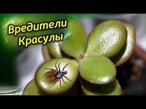Вредители Денежного дерева. Как эффективно бороться с вредителями Толстянки!