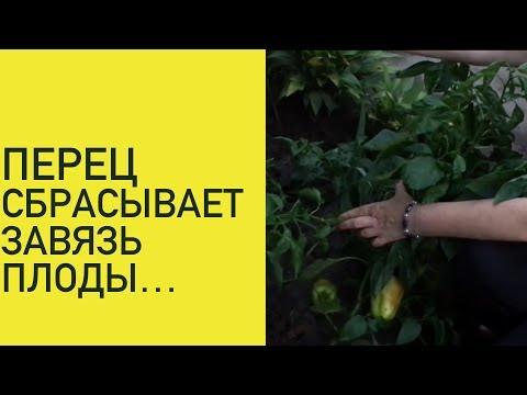 ПЕРЕЦ. Сбрасывает завязь и плоды. | проращивание | прикапывать | выращивание | папоротник | плетистая | хранение | клематис | вьющаяся | укрытие | посадка