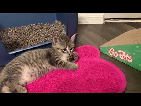 Foster Kittens Play and Discover Puppy!