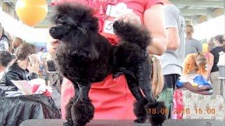 Отличный экстерьер собаки : Той пудель Корона Кавказа Бантик