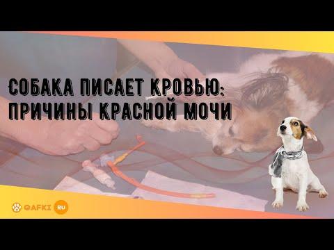 Собака писает кровью: причины красной мочи