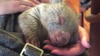 Wombat dreaming, milk coma