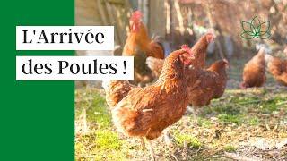 L'arrivée des poules à La Ptite Ferme !