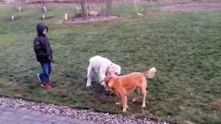 Goldendoodle And Golden Retriever Mix - F2 Puppy Playing With Mom