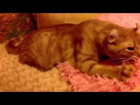 Кот Артист Американский Кёрл Artist the cat. American Curl