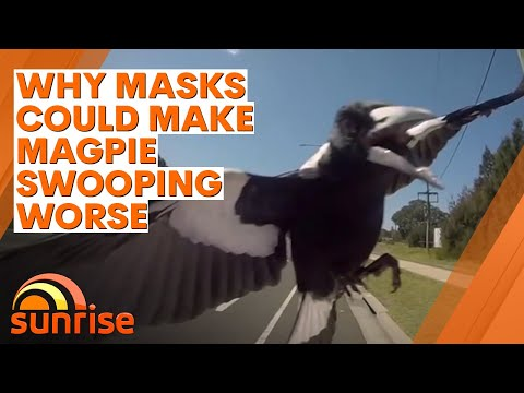 Why Masks Could Make Magpie Swooping Worse | 7NEWS