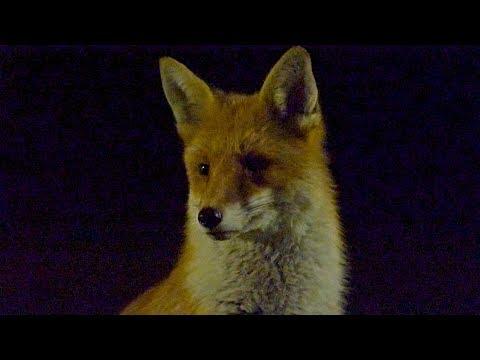 Big Boss Fox - Vulpes vulpes - Hackney London