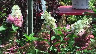 Home Gardener - Mums: Garden Variety vs True Perennial