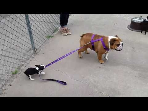 Boston Terrier Pulls Bulldog