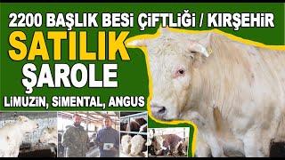 2200 Başlık Damızlık Angus, Şarole, Limuzin, Simental Fiyatları / Büyükbaş Hayvan Çiftliği Kırşehir