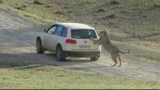 Leões atacando carro na áfrica! leão vs automóvel