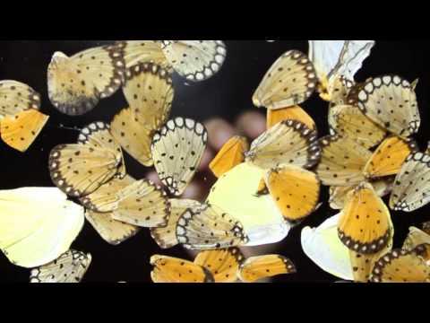 Người thổi hồn vào tranh bướm / Cô gái dệt bươm bướm thành tranh ( truyền hình Bình Dương )