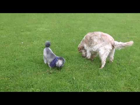 English Setter Otis legging it with Border Terrier Nala; I thought he'd hurt his foot.