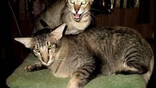 Порода кошек .Ориентальная длинношерстная кошка.Описание,характеристика и случайное появление!