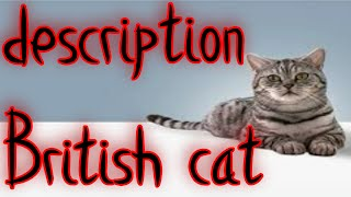 British Shorthair cats are a traditional English breed and the pride of Great Britain