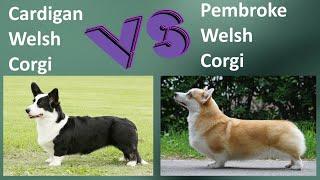 Cardigan Welsh Corgi VS Pembroke Welsh Corgi  Breed Comparison