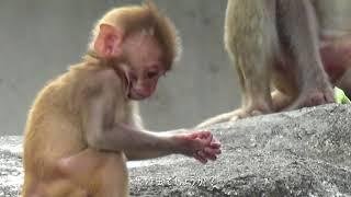 動物園チャンネル アカゲザル赤ちゃん 東武動物公園
