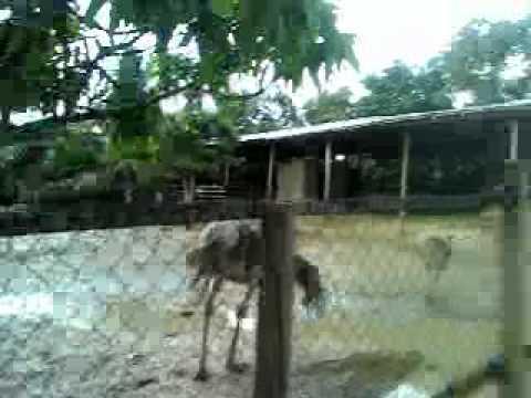 Ostrich in Real Farm , Brunei