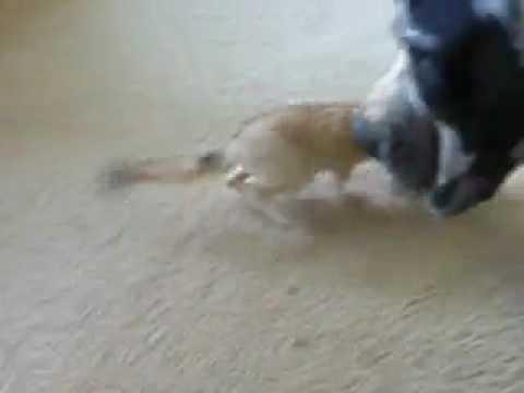 Der Fennek Fuchs Als Haustiere Erlaubt Youtube