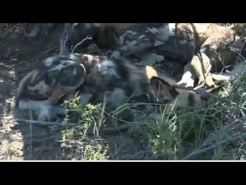 Wild Earth Africa sunset 4-Feb -2017 Wild Dogs , Hyena Gwen,Conner does a great Job whit Wild Dogs