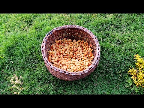 Collect and Eating Mahua Flower in Fossil Park   Mahua Wine Flower   Village Food
