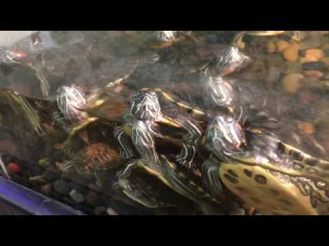 Baby Turtles Following Me!