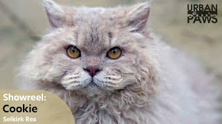 Cat Training: Cookie (Selkirk Rex)